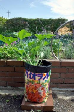 バイオランドを袋のまま使い、ズッキーニを育ててみました。